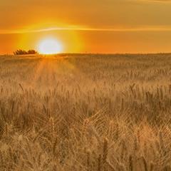 Закат над пшеничным полем...