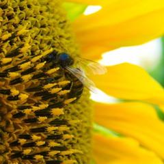 Пчелка на солнышке