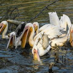 В пошуках поживної їжі... (або ранкове полювання пеліканів)