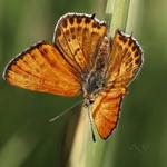 Червонец блестящий (Lycaena thersamon)
