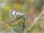 Белянка резедовая (Pontia daplidice)