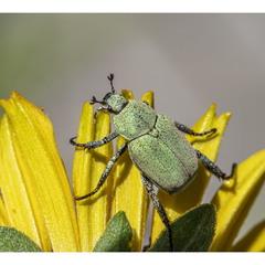 Гоплия-крошка (Hoplia parvula)