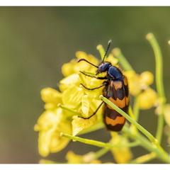 Пчеложук (Trichodes apiarius)