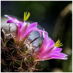 Mammillaria Sheldonii