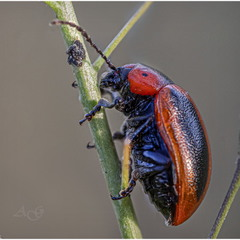 Листоед адонисовый, рапсовый (Entomoscelis adonidis)
