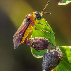Пилильщик рапсовый (Athalia rosae)