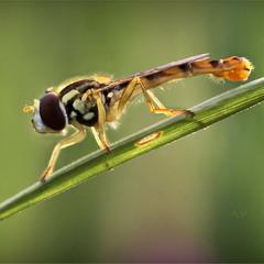 Журчалка (Platycheirus sp.)