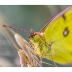 Портрет одной бабочки.