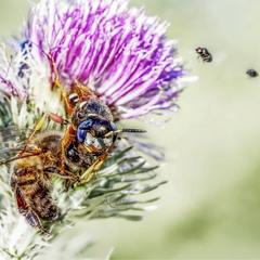 Большая охота в маленьком мире (Пчелиный волк)