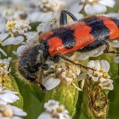 Пестряк пчелиный или пчеложук (Trichodes apiarius)