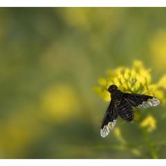 Темнокрылкa (Hemipenthes morio)