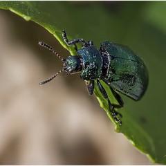 Зеленый (Chrysolina menthastri)
