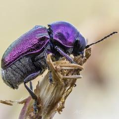 Фиолетовый (Cryptocephalus sericeus)