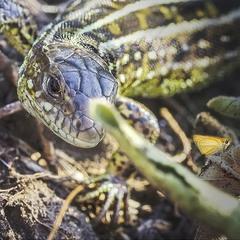 Eye Of The Hunter (Zootoca vivipara)