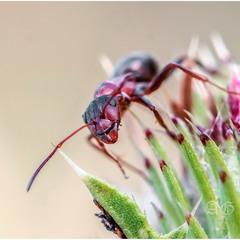 Рыжий муравей (Formica sp.)