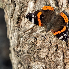 Бабочки октября (Vanessa atalanta)