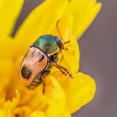 Шесть лап на желтом (Cryptocephalus laetus)