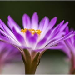 Кактус Mammillaria theresae