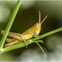 Идёт направо - песнь заводит... (Locusta migratoria)