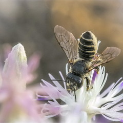 Пчелка (Megachile rotundata)
