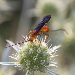 Пастбище единорогов (Cremnops desertor)