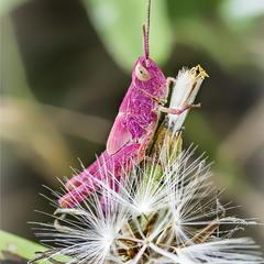 Когда жизнь в розовом цвете (Locusta migratoria)