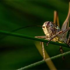 Взгляд (Decticus verrucivorus)