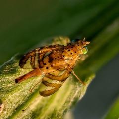 Пестрокрылка бодяковая (Urophora cardui)