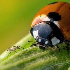 To be or not to be?.. (Coccinella septempunctata)