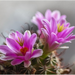 Кактус Mammillaria sheldonii