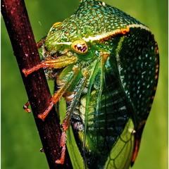 Буйволовидная цикадка (Stictocephala bubalus)