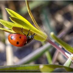 Красное на желтом (Coccinella septempunctata)