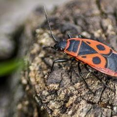 Солдатик (Pyrrhocoris apterus)