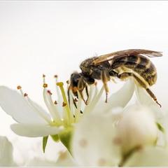 Весенняя пчелка