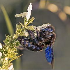 Пчела-плотник (Xylocopa valga)