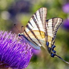 Парусник на цветах (Iphiclides podalirius)