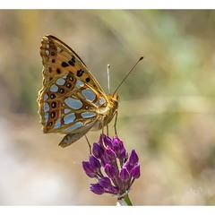 Перламутровка блестящая (Issoria lathonia)