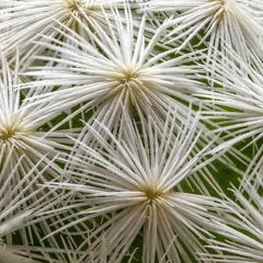 Mammillaria hererrae