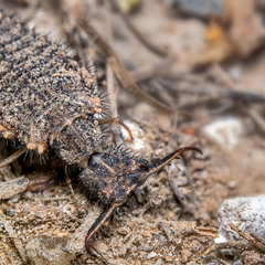 Обыкновенный муравьиный лев (Myrmeleon formicarius)