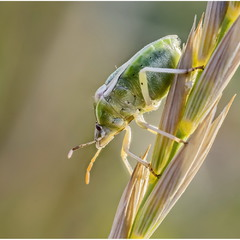 Еще один зеленый (Palomena prasina)