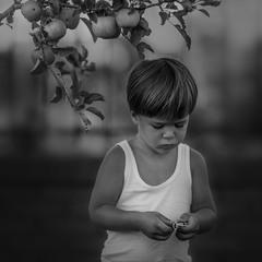 Пора собирать яблоки