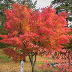 Осенний клен - источник вдохновенья...