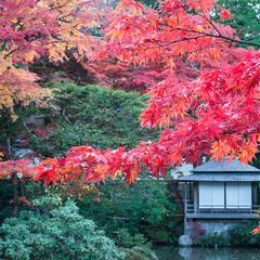 Алые клены момидзи. Япония.