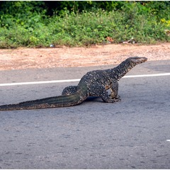 """""""Ползающий полицейский"""". :) Шри-Ланка."""