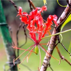 Необычный цветок. Королевский ботанический сад. Шри-Ланка.