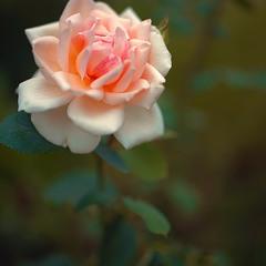мамина кремовая красавица