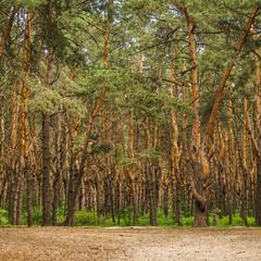 Aestate pine forest