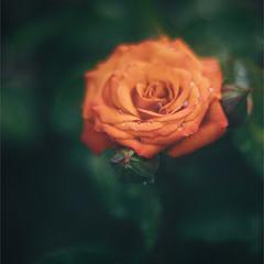 Сезон цвіту троянд