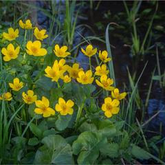 Калюжниця болотна-теж весняна квітка