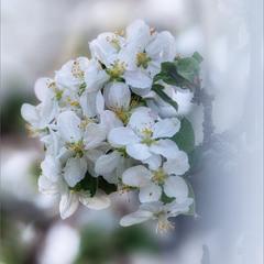 Цвіт рідний біло-рожевий